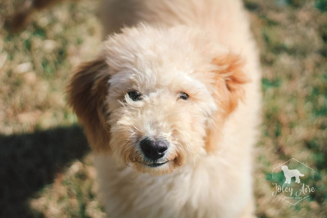 Radar Medium Goldendoodle Puppy for sale in Carlock