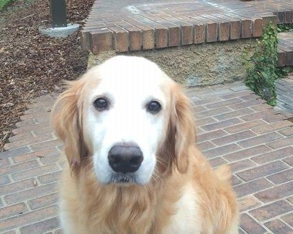 Adopt Taiwan Jack On Golden Retriever Golden Retriever Rescue Dog Meet