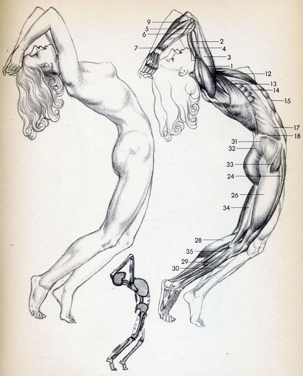 Female Muscles From Drawing Lessons By Willy Pogany 1946 Figure