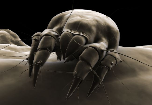 3 Fixes For Dust Mites Dust Mites Mattress Cleaner Dust Mite