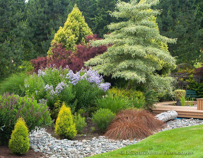 Vashon Island, WA: Garden bed with varigated dogwood (Cornus controversa 'Variegata') Milky bellflower(Campanula lactiflora). cryptomeria and sedges in a dry creek bed -Froggsong garden in summer