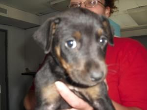 9173 Is An Adoptable Rottweiler Dog In Portsmouth Oh This Is A