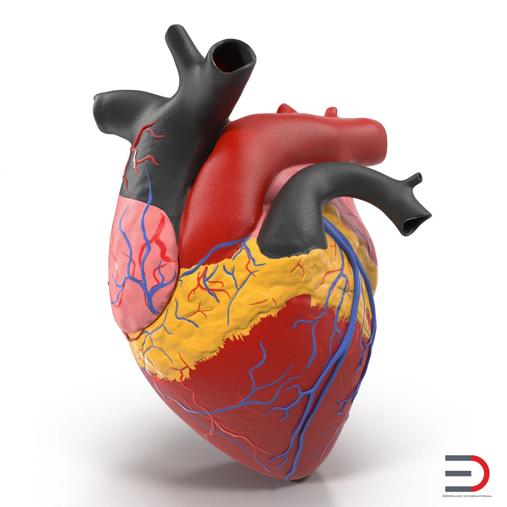 Anatomy Heart Medical Plastic Model | 3d models of Medical Equipment ...