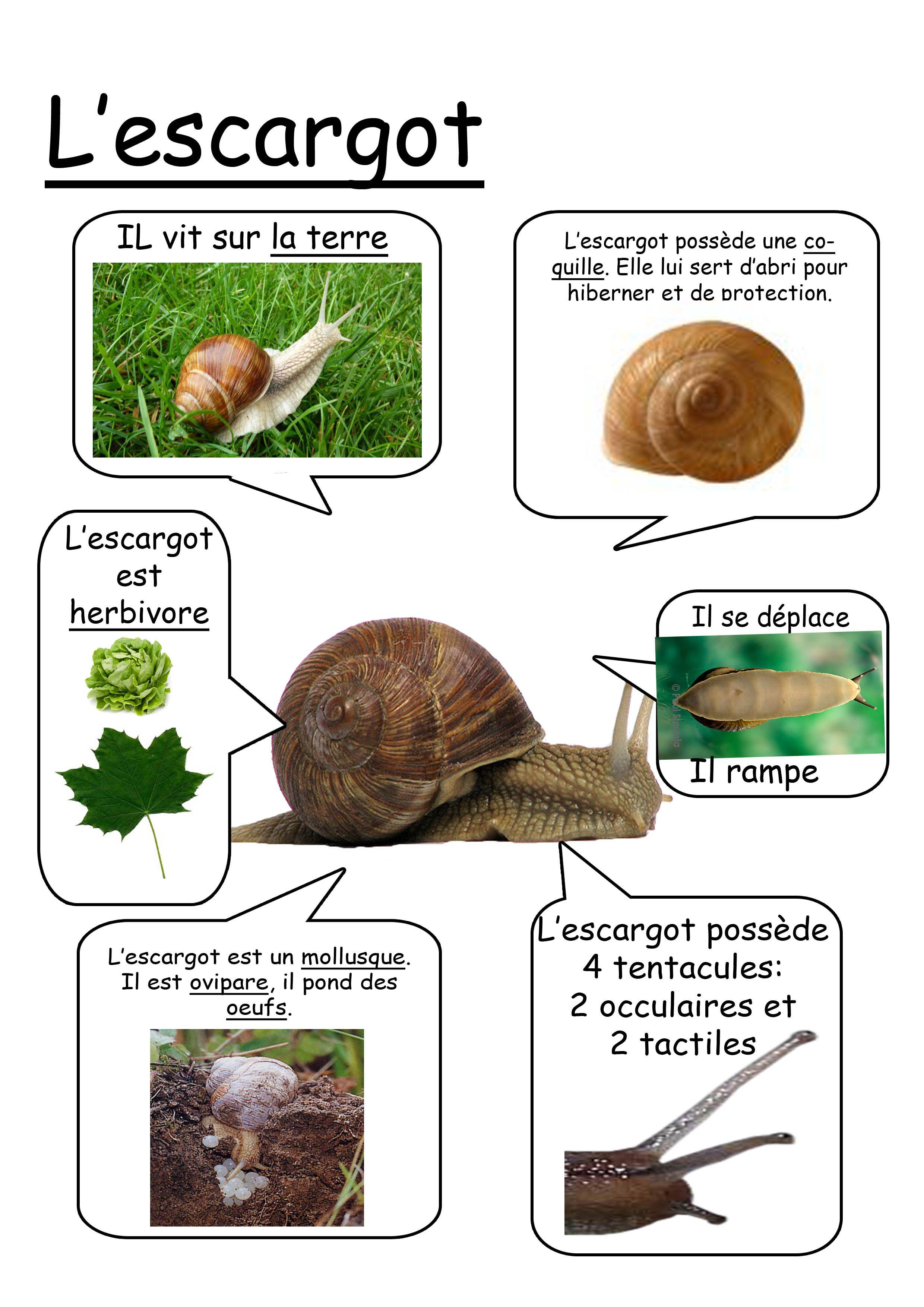 Fiche escargot maternelle pinterest escargot maternelle et escargot maternelle - Escargot maternelle ...