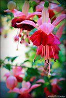 Fuchsia life . by 999999999a
