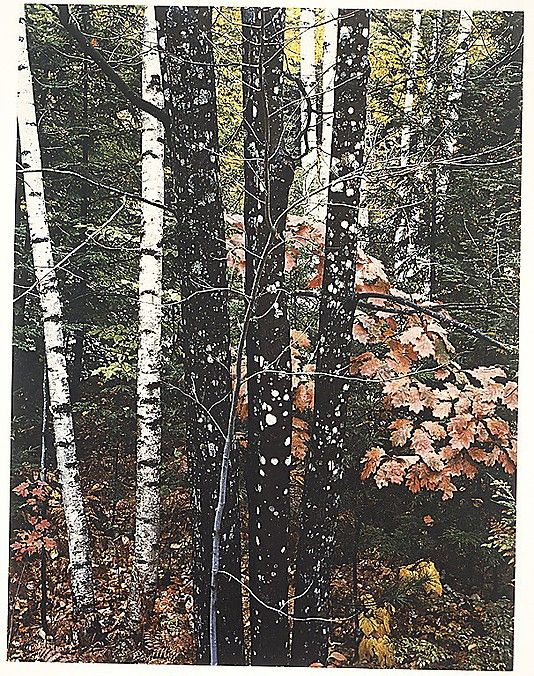 maple and birch trunks and oak leaves passaconaway road new hampshire eliot porter 1956 the. Black Bedroom Furniture Sets. Home Design Ideas