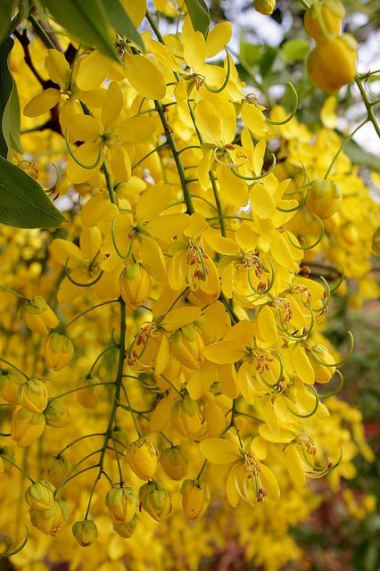 Cassia fistula cassia fistula tree pinterest flowers cassia fistula they are gorgeous when you see them in real l in full bloom mightylinksfo