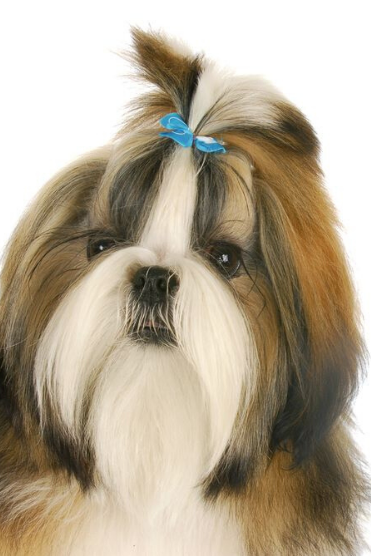Shih Tzu Puppy Wearing Blue Bow In Hair On White Background Shihtzu Shih Tzu Puppy Shih Tzu Puppies