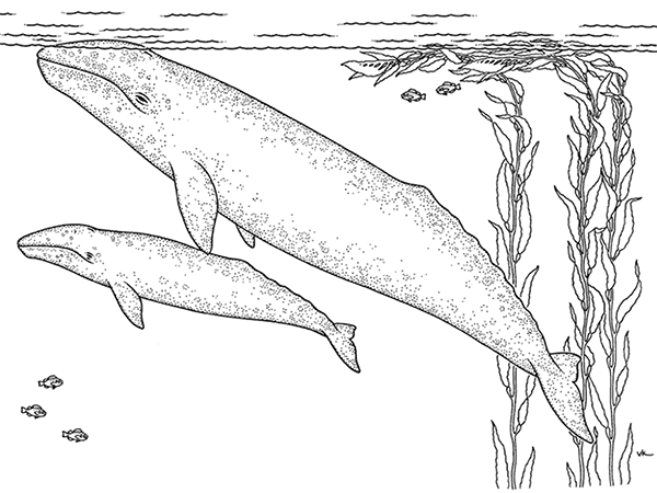 Coloring Pages At The Monterey Bay Aquarium Whale Coloring Pages Gray Whale Whale