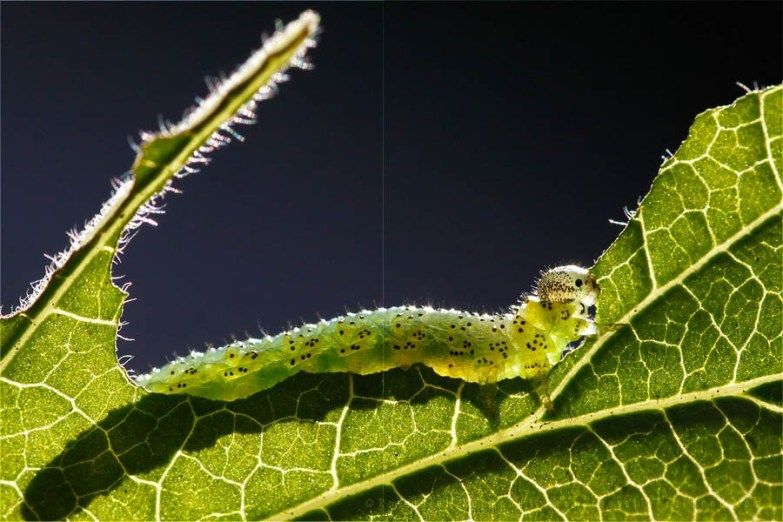The Very Hungry Caterpillar by Roeselien Raimond Nature