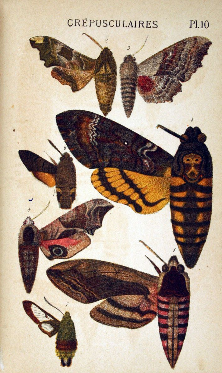 Pin By Ellen Coffin On Ingenious And Irridescent Insects Moth Illustration Scientific Illustration Animal Symbolism