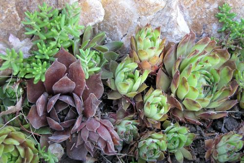 tips to propagate hens and chicks grow it hens chicks chicken garden planting succulents. Black Bedroom Furniture Sets. Home Design Ideas