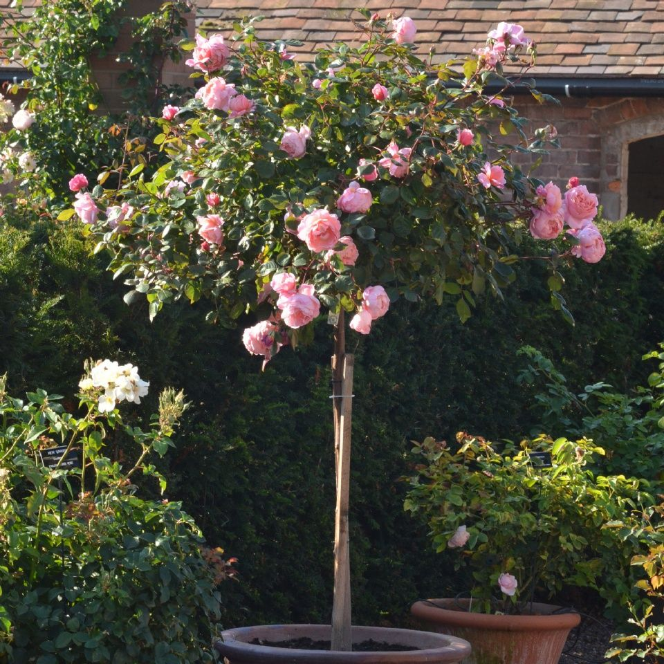 Brother Cadfael Standard By David Austin Roses Buy English Roses Rose Trees David Austin Roses