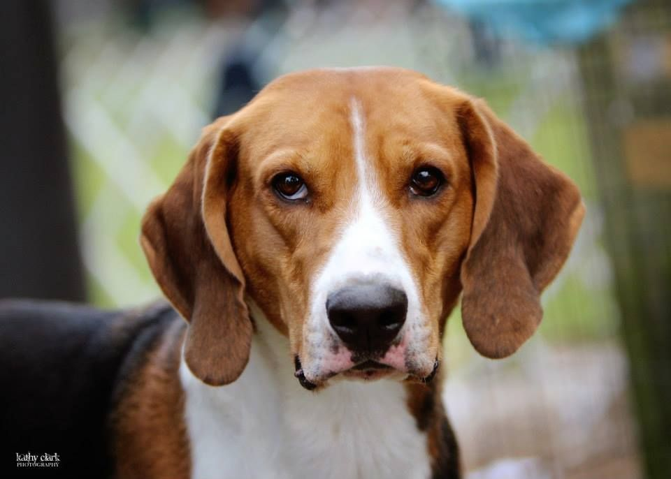 American Foxhound American Foxhound The Fox And The Hound