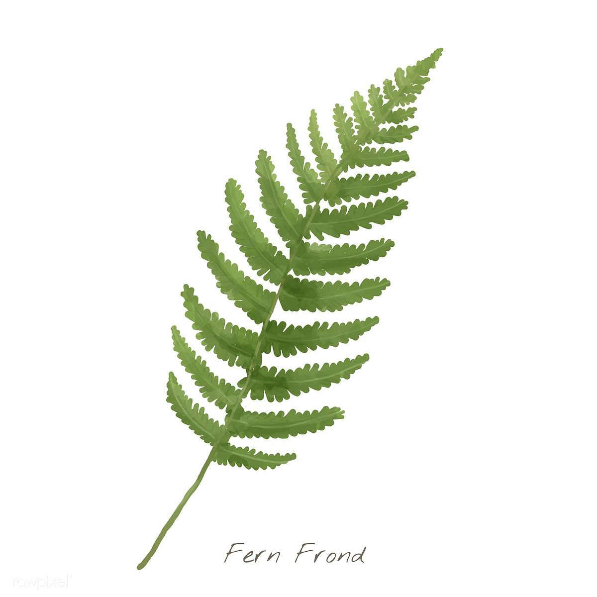 Green Plant Real Decoration Material Green Clipart Leaves Clipart Fern Clipart