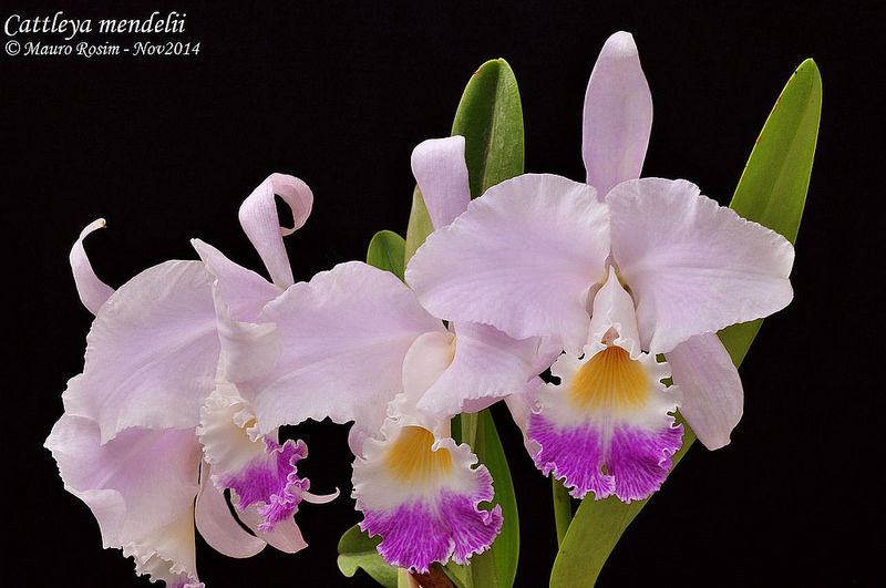 Cattleya Mendelii Cattleya Orchids Plants