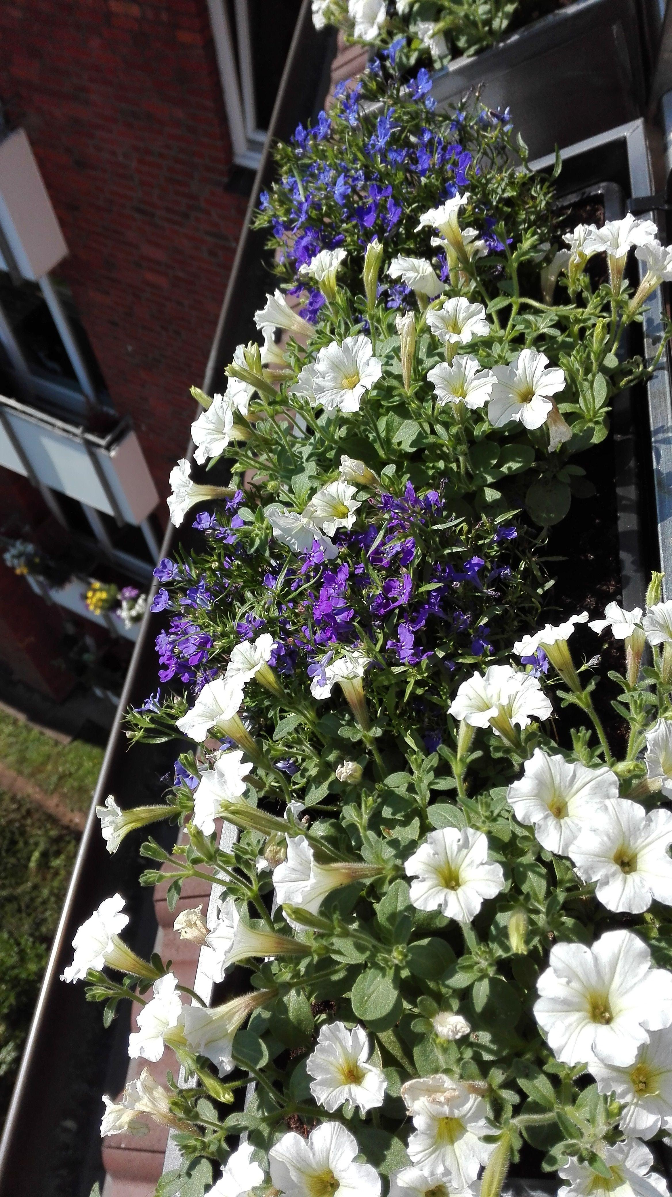 Balkonkasten Bepflanzen Mit Petunien Und Mannertreu In Blau Und