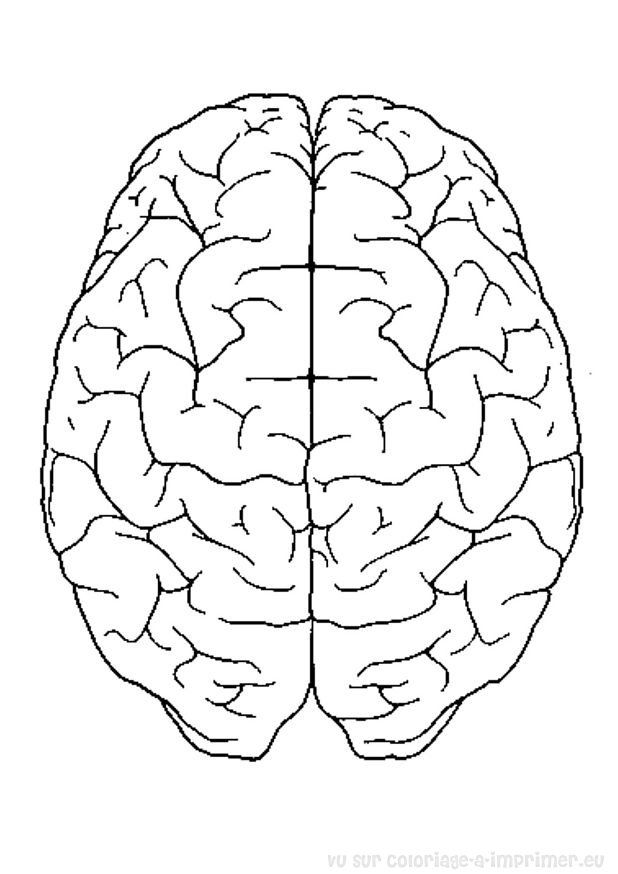brain coloring diagram