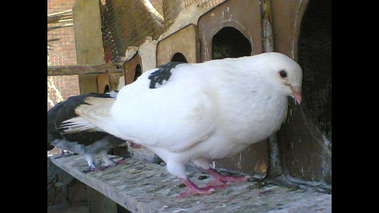 علاج الاسهال الاخضر عند الحمام وجميع انواع الاسهال والوقاية من هذا المرض Bird Animals Release Dove