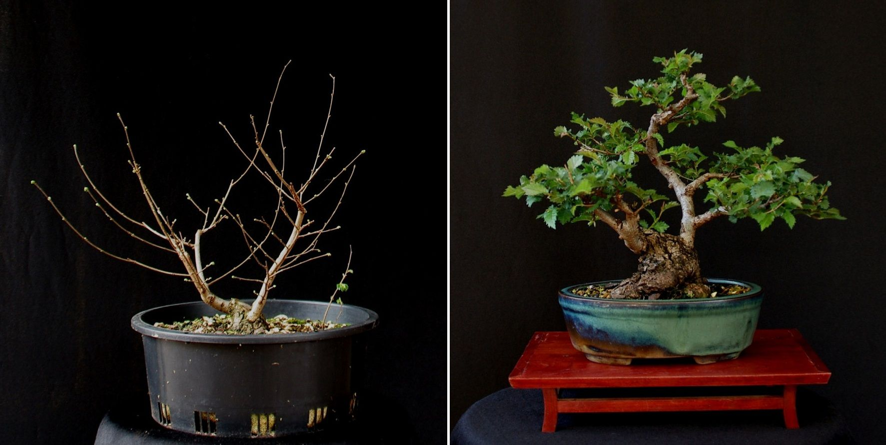 Gerard  ulmus procera  before and afterg   BONSAI