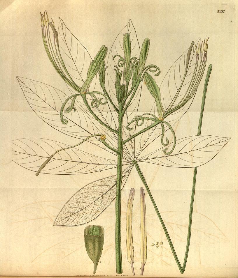 Curtiss botanical magazine