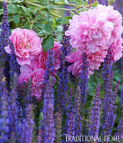 "David Austin English rose ""Abraham Darby"" and ""East Friesland"" salvia brighten the garden with purples and pinks - Traditional Home® / Photo: Peter Krumhardt / Garden design: Liz & Peggy Olsen"
