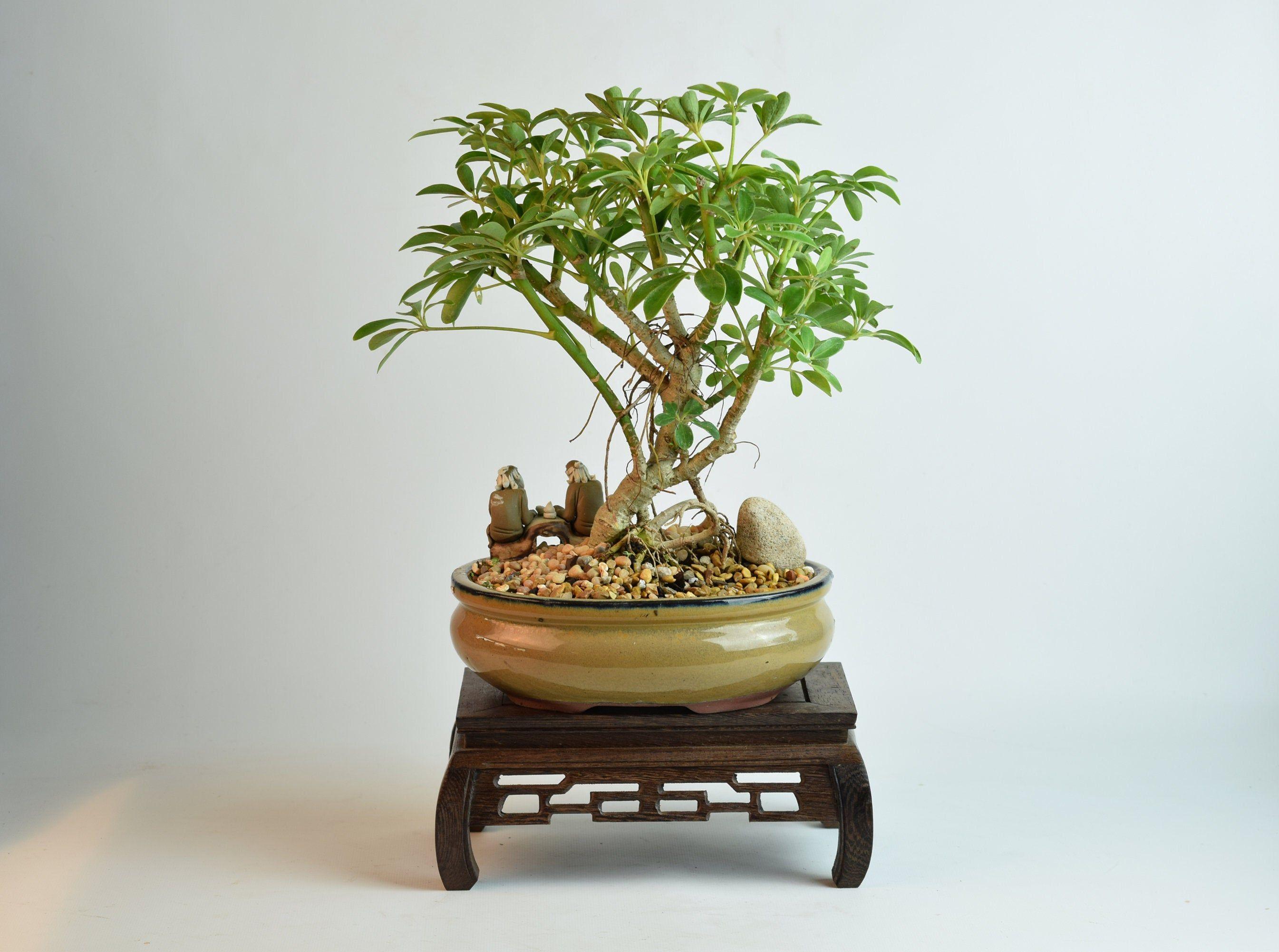 Private Listing For Jennifer Bonsai Tree Dwarf Schefflera Etsy Bonsai Tree Indoor Bonsai Tree Outdoor Plants