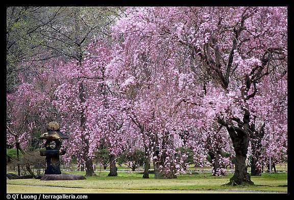 Buying Silk Flowers Japanese Cherry Tree Spring Blooming Trees Cherry Blossom Japan
