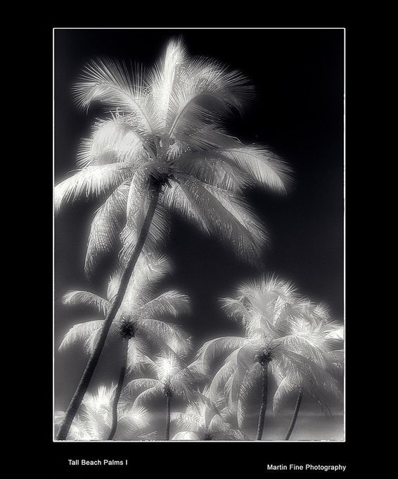 "Photo ""Tall-Beach-Palms-I"" by martfine"