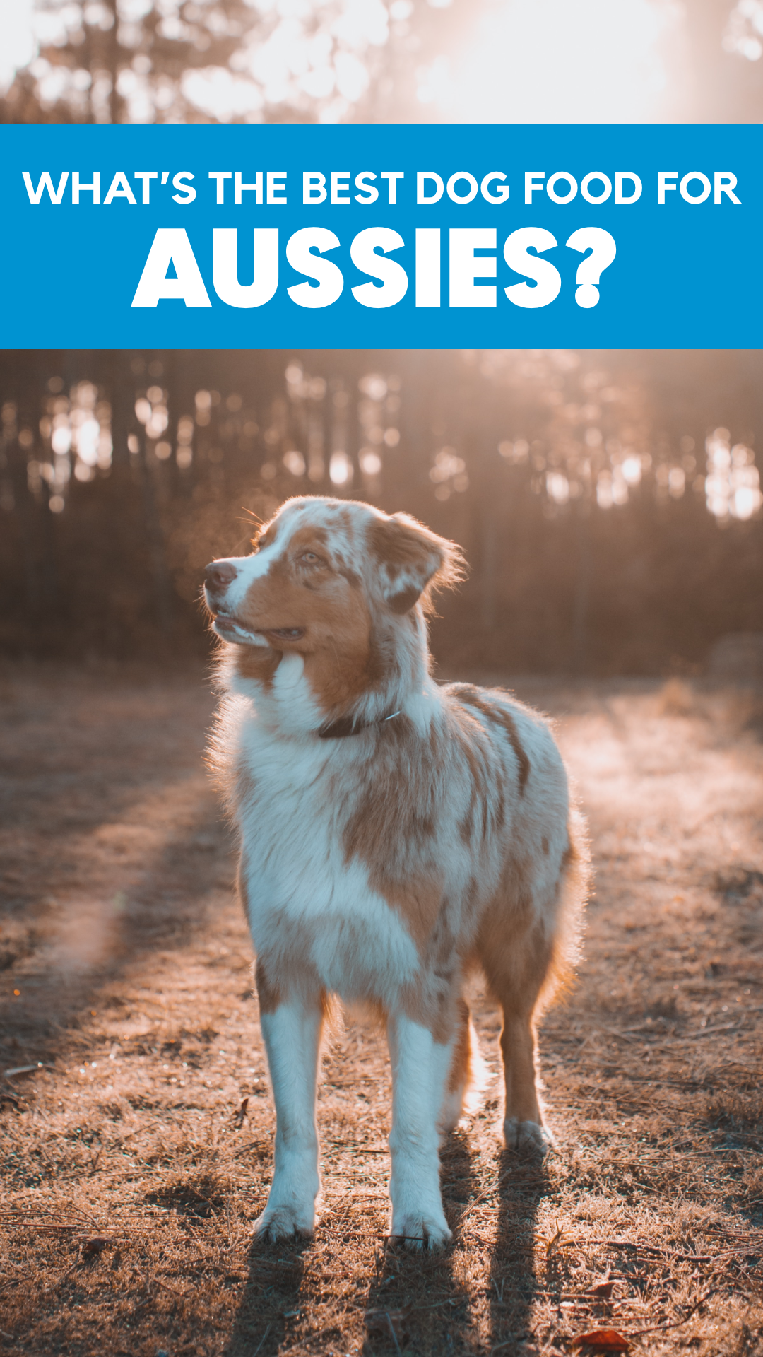 Australian Shepherd Info Personality, Food & More