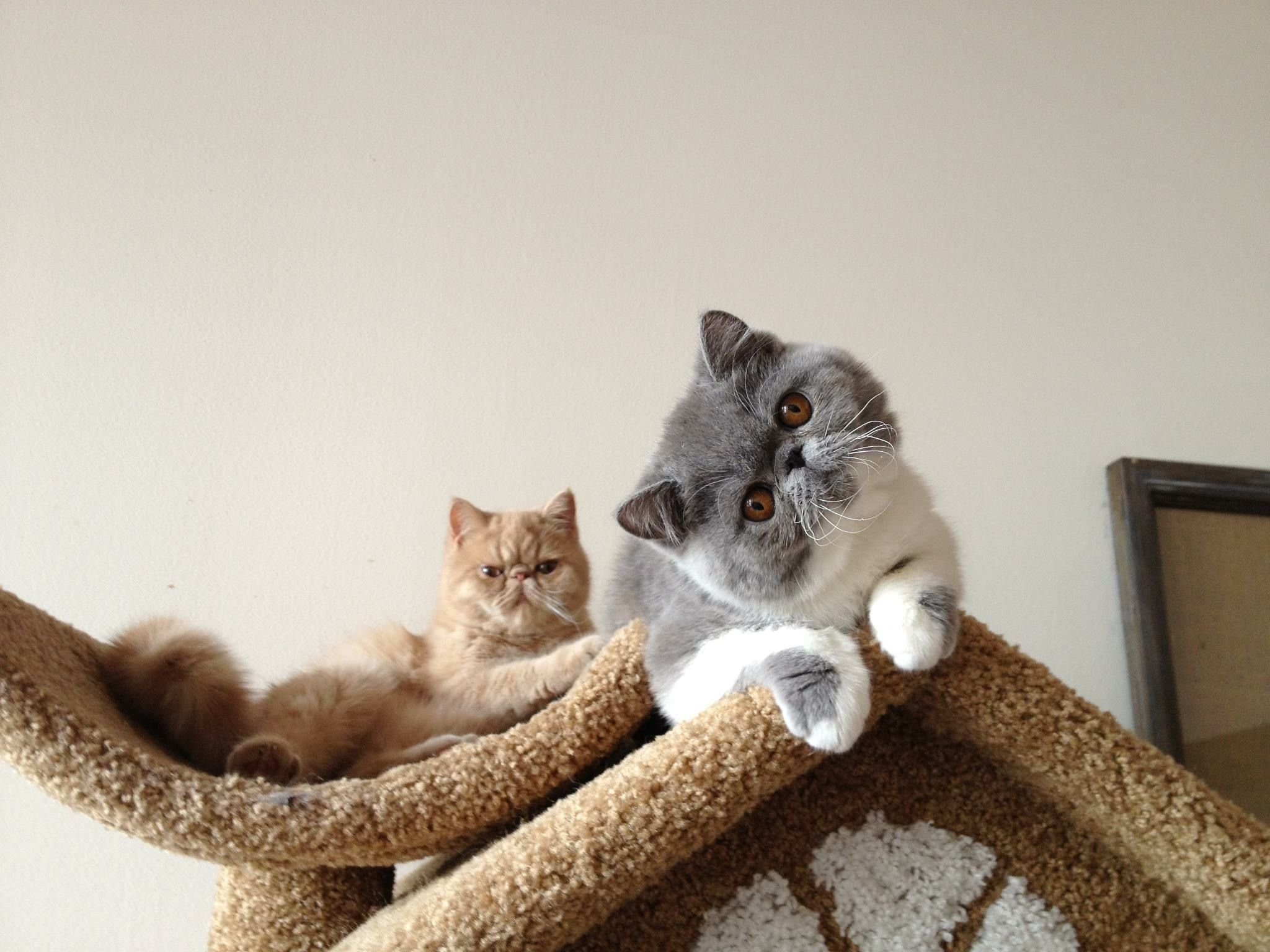 Lola and Bella. Exotic shorthair cats. St. Paul, Minnesota