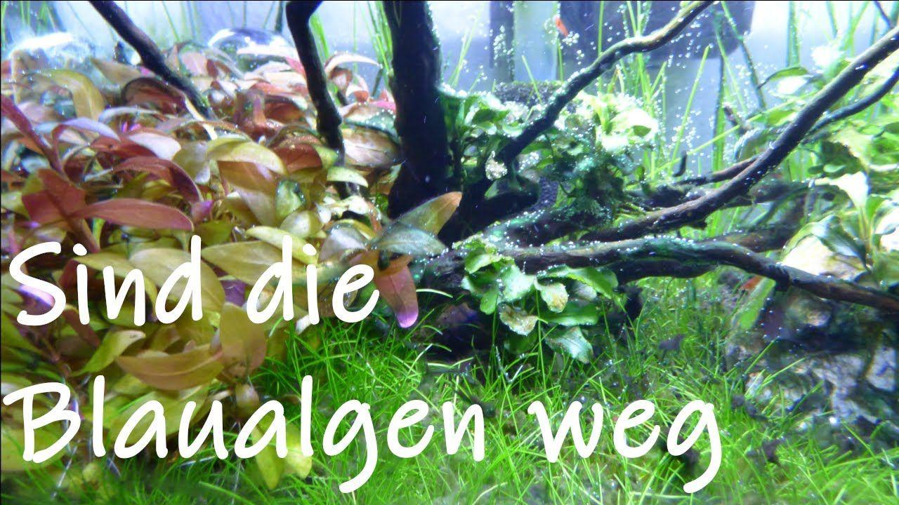 Aquariums Habe Ich Meine Blaualgen Bekampft Cyanobakterien Aquarium Garten Guru Aquarium Garten