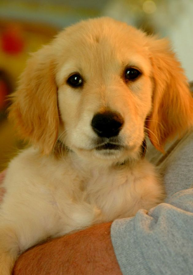 Pictures Of Dogs For Adoption Dog Adoption Save A Dog Golden Puppy