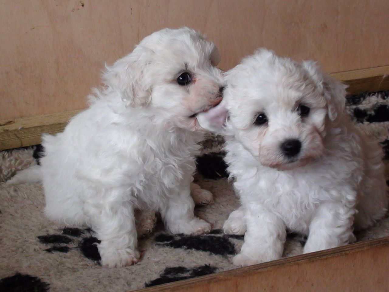 Adorable Bichon Frise Puppies. For more cute puppies
