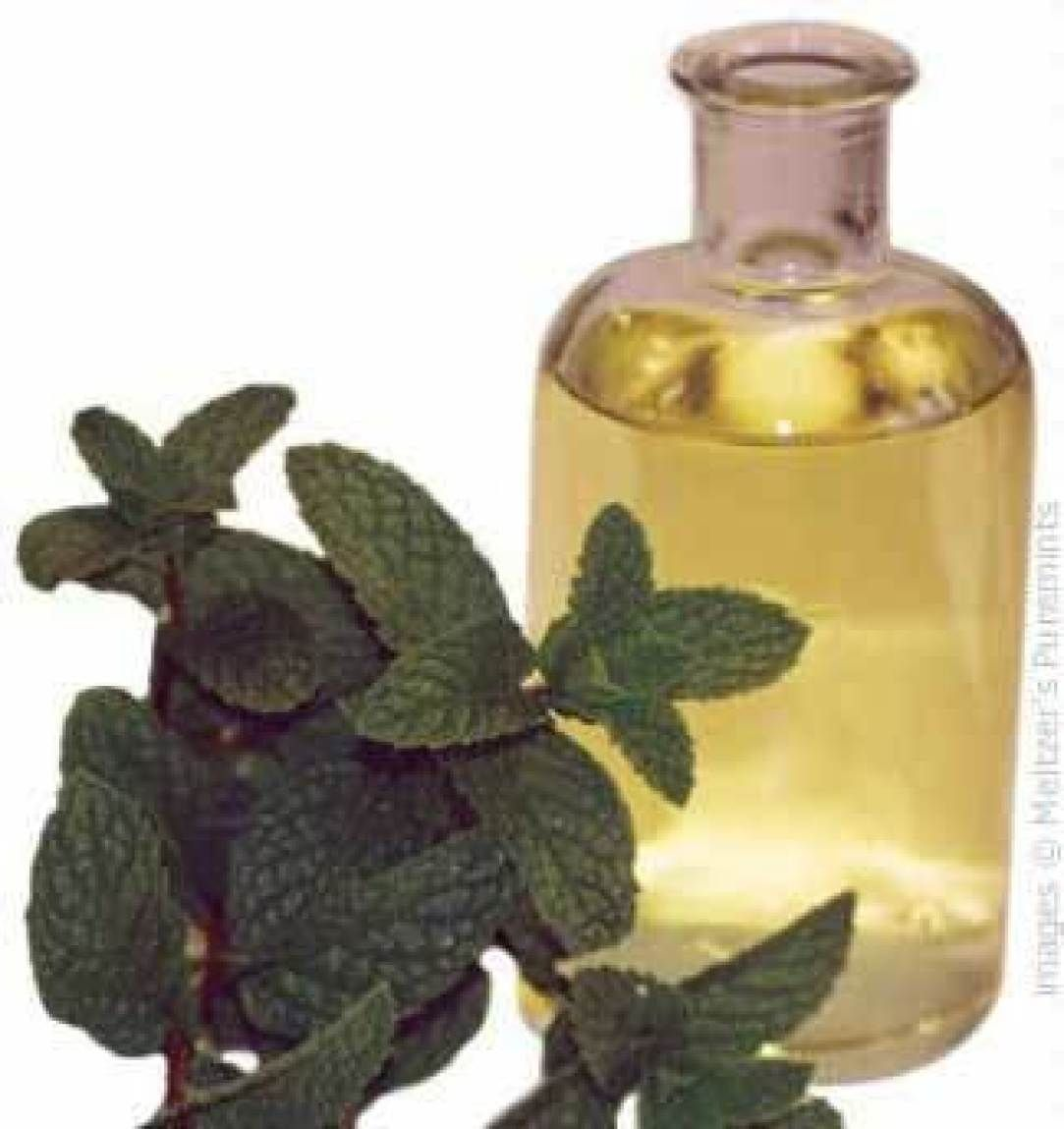 Make your own mint infused oil & recipes Peppermint