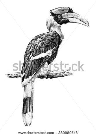 great hornbill bird illustration, hand drawn sketch of