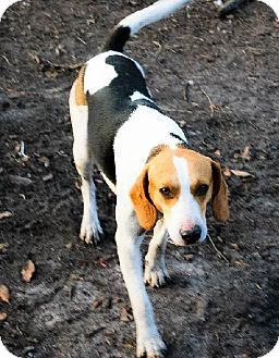 Ringoes Nj Beagle Treeing Walker Coonhound Mix Meet Spirit A