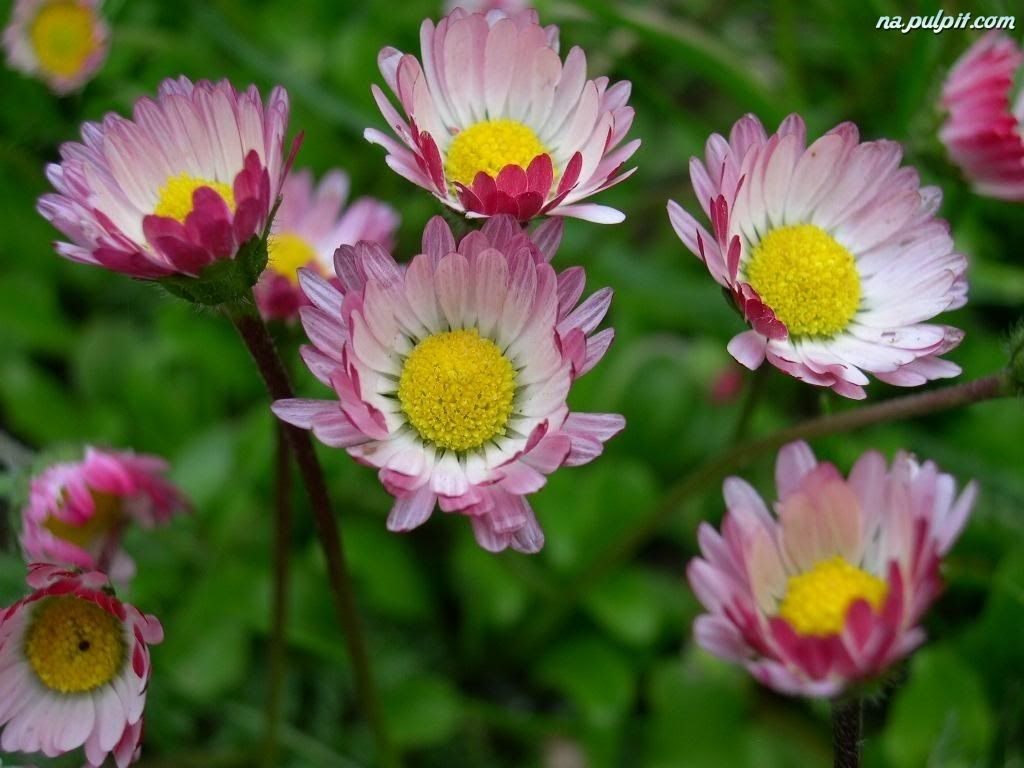 Pink Daisies Daisy Pinterest Pink Daisy And Bellis Perennis