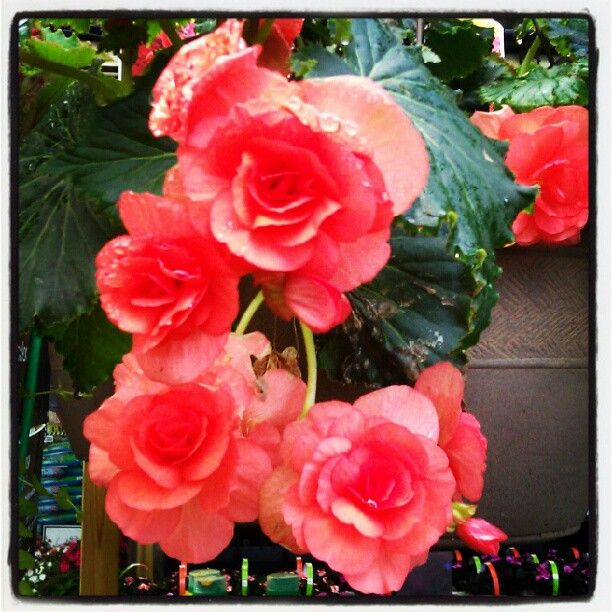Rieger Begonia Flower Photography Homedepot Flowers Begonia Plants