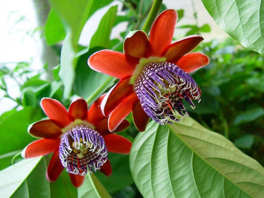 Passiflora Alata Winged Stem Passion Flower Passiflora Plantopedia Floweringplant Flowers Floweringplants Fl Passion Flower Passiflora Fuchsia Flowers