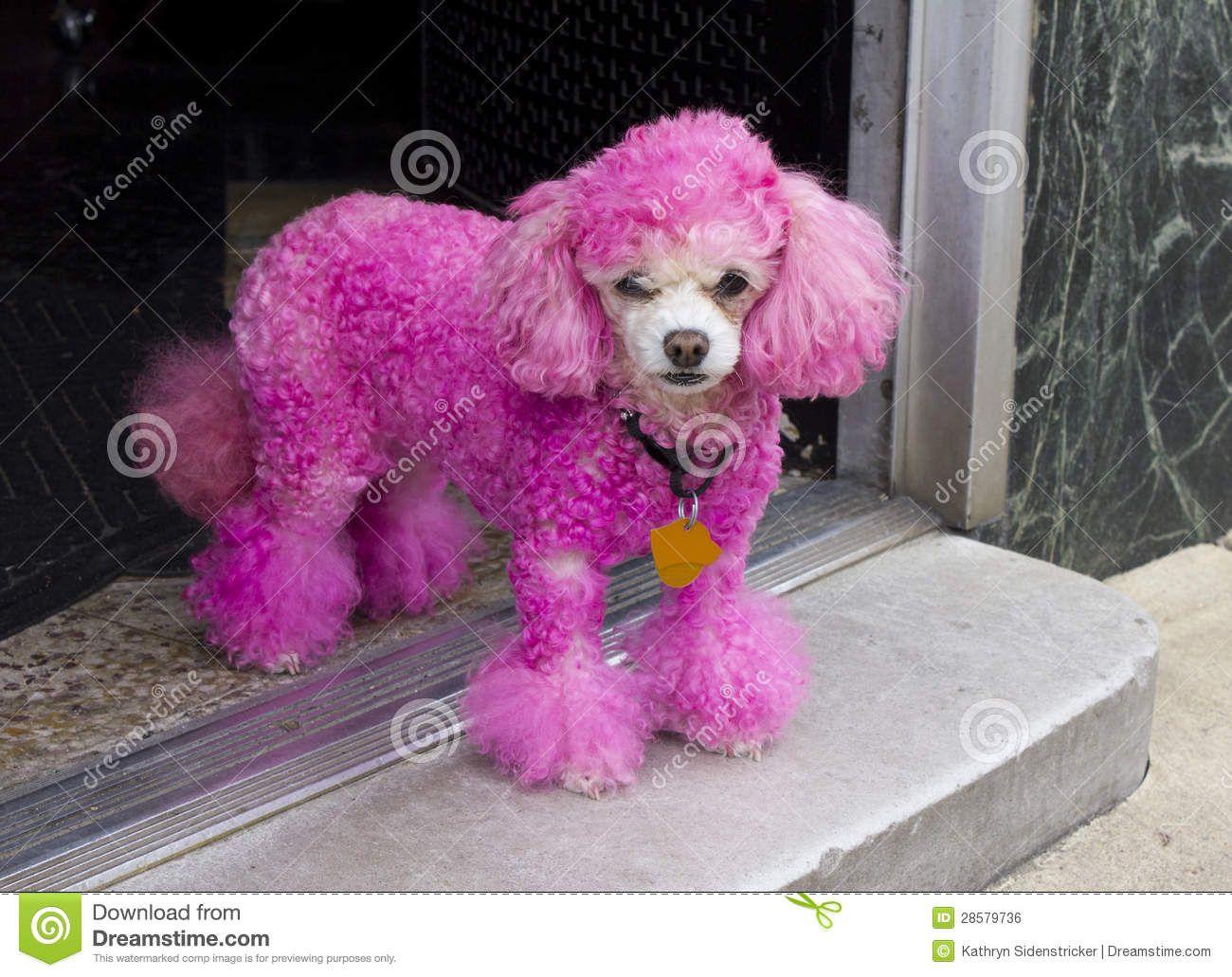 Miniature Pink Poodle Standing In A Doorway In Hot Springs