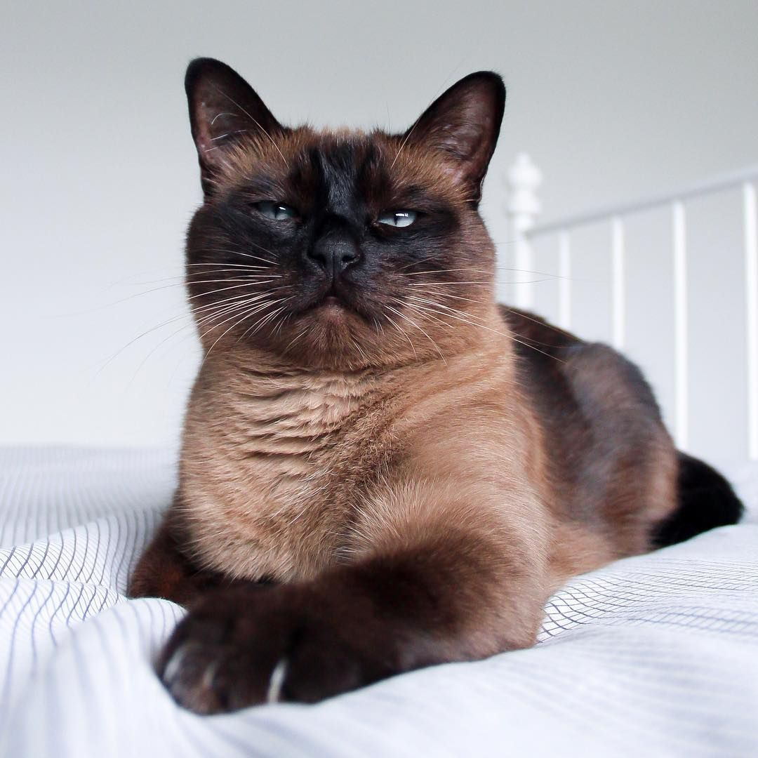 """Chocolate Brown Siamese Cat on Instagram """"In case you can"""