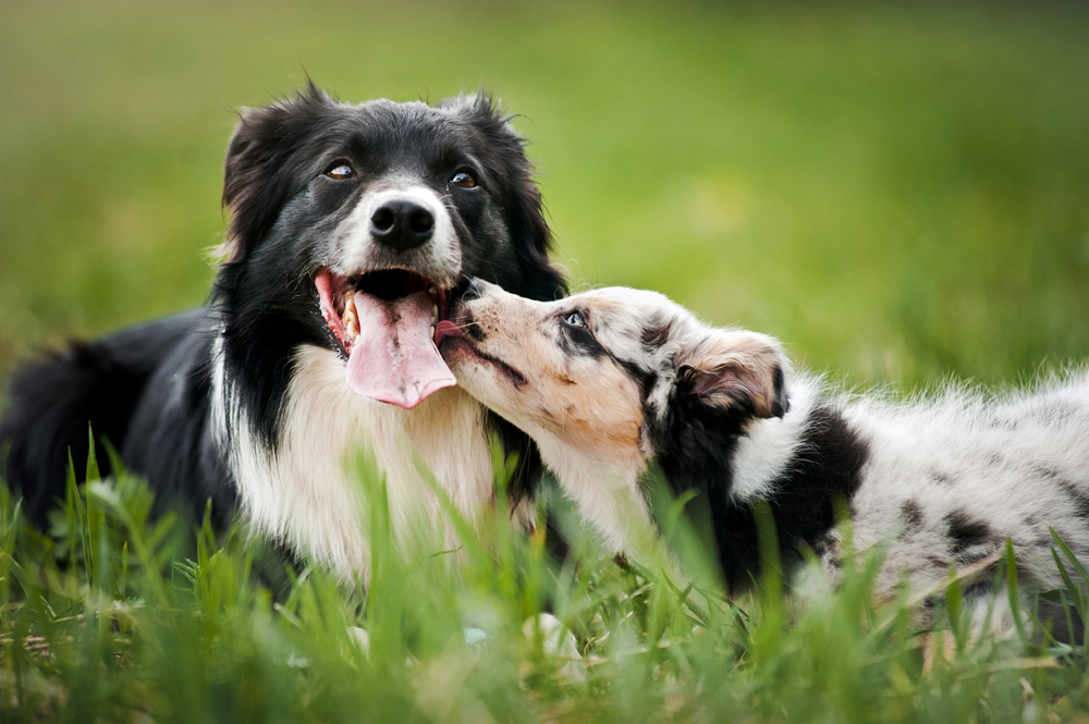 Border Collie Training Easy and Hard Dog facts, Dogs