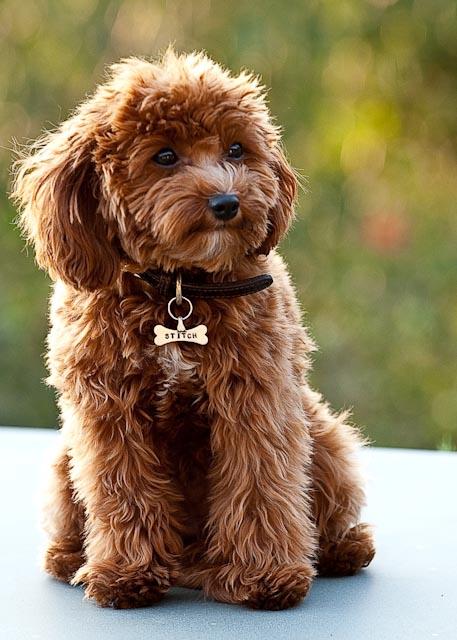 Cavapoo = Cavalier King Charles Spaniel + Poodle.