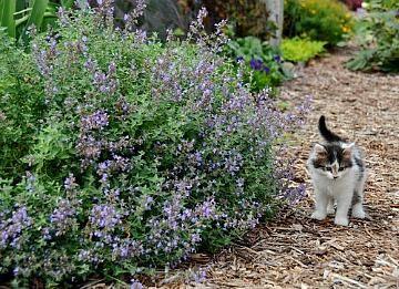 Perennial Garden Plants Cat's Meow Nepta Catmint  https://www.greenwoodnursery.com/nepeta-cats-meow-catmint