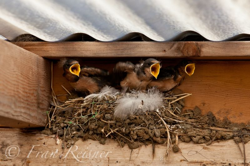 Little peepers (baby swallows) keeping mom busy