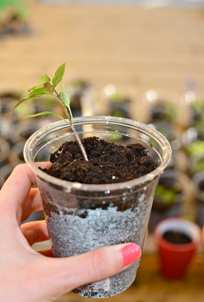 how to grow tomatoes indoors from seeds