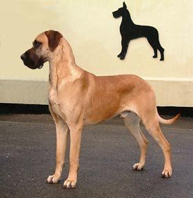 Un Cropped Ears Fawn Great Danes The Way They Should Be Great