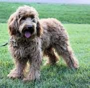 Image Result For Labradoodle Miniature Labradoodle Labradoodle Miniature Labradoodle Rescue