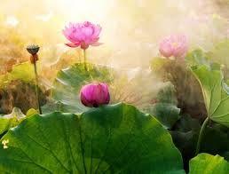 taç yapraklı lotus çiçeği - Google'da Ara
